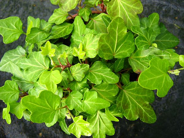 Little-Wonder-Hedera-helix
