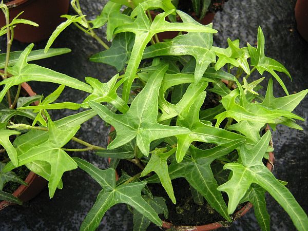 Star-Hedera-helix
